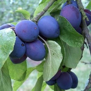 Organic Early Prolific Plum Tree