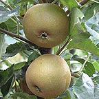 Organic Egremont Russet Apple Trees