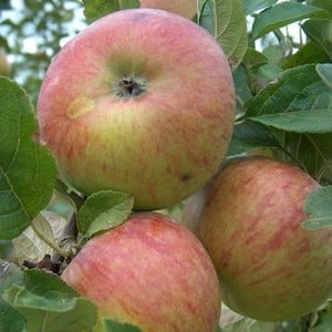 Organic Howgate Wonder Apple Trees