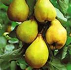 Organic Lescovaka Quince Tree