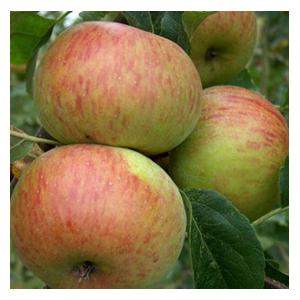 Organic Lord Lambourne Apple Trees