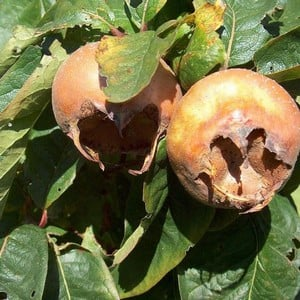 Organic Nottingham Medlar Tree