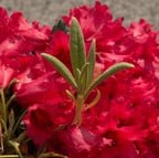Rhododendron Titian Beauty
