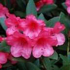 Rhododendron Winsome