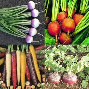 Root Vegetable Collection (55 Plants) Organic