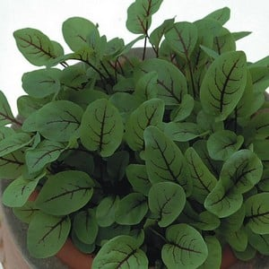 Sorrel Red Veined Sorrel (10 Plants) Organic