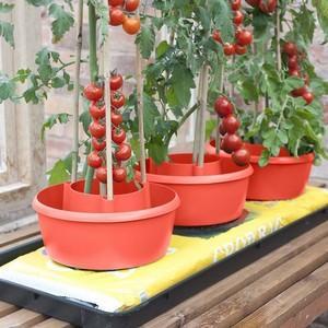 Tomato Plant Halos Harrod Horticultural Uk